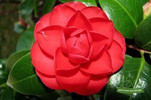 Красная камелия - самый редкий цветок в мире