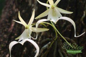 """Цветок """"орхидея-призрак"""" самый редкий сорт орхидей"""