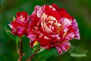 Все о розах от цветочной мастерской