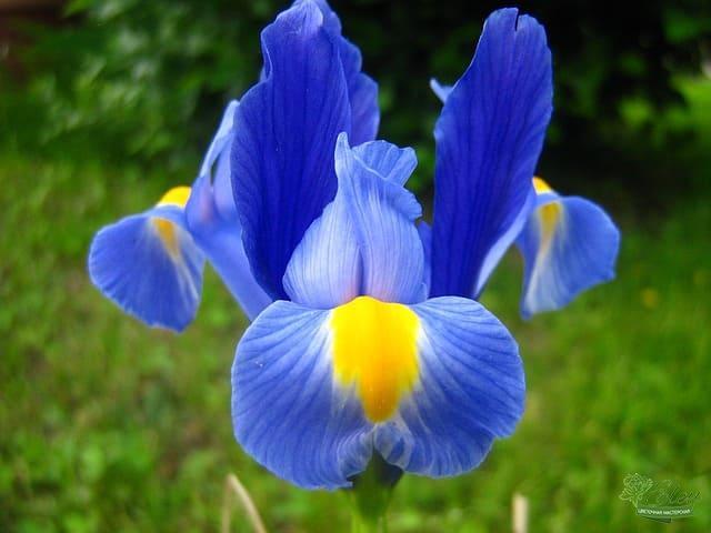 Ирис - нежный цветок с богатой историей