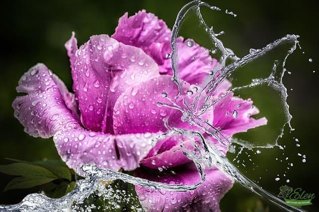 Пион – цветок, покоривший мир