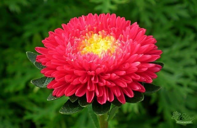 Астра – цветок, который не перестает удивлять своей многогранностью!