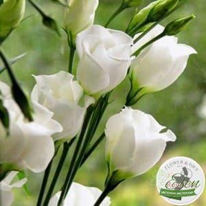 Эустома или лизиантус часто используется флористами при составлении букетов