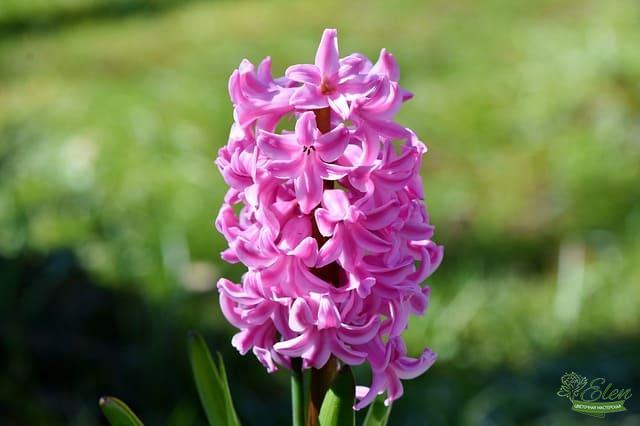Гиацинт – красивое луковичное растение, которое цветет в мае