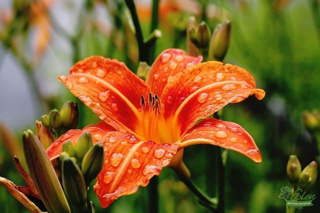 Лилия – второй, после розы, любимейший цветок женщин