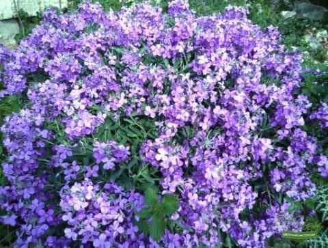 Маттиола имеет нежный привлекательный вид, приятный аромат