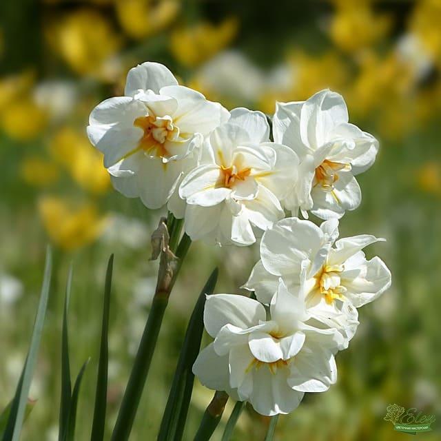Нарцисс – красивый поникающий весенний луковичный цветок, который бывает белого или желтого цвета