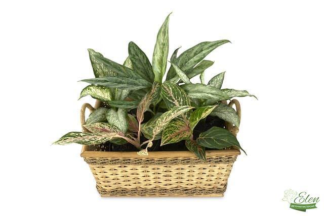 Офисные растения - Аглаонема