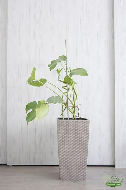 Филодендрон в озеленении офиса