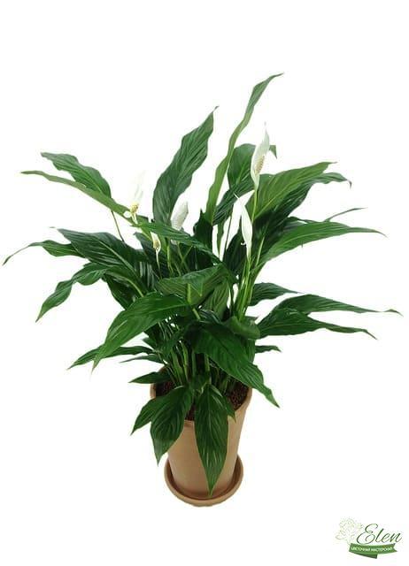 Спатифиллум - растение для офиса