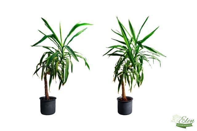 Юкка - офисное растение