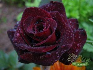 черная роза эмблема печали