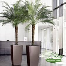 Финик Робелена для озеленения офиса
