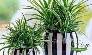 Хлорофитум - озеленение офиса